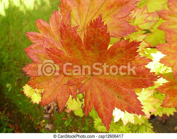 Full Moon Maple Leaves Red Edged Leaves Of Full Moon Maple Acer