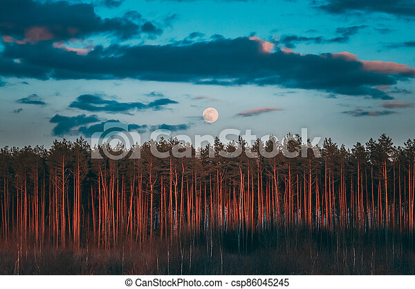 Full Moon Rising Above Pine Forest Landscape In Belarus Or European Part Of Russia During Sunset Time Of Summer Evening. Sunrise Nature At Sunny Morning - csp86045245