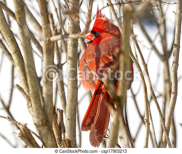Full View of Red Cardinal - csp17903213