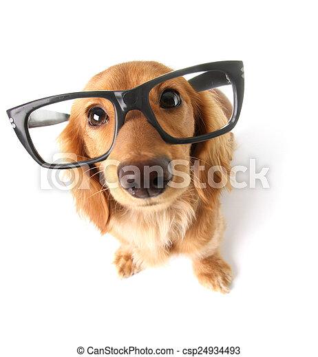 Funny dachshund.  - csp24934493