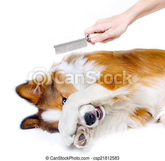 Funny dog showing fear of grooming - csp21812583