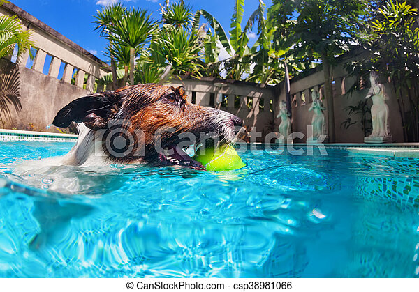 Funny dog swim in pool. Playful jack russell terrier puppy in ...
