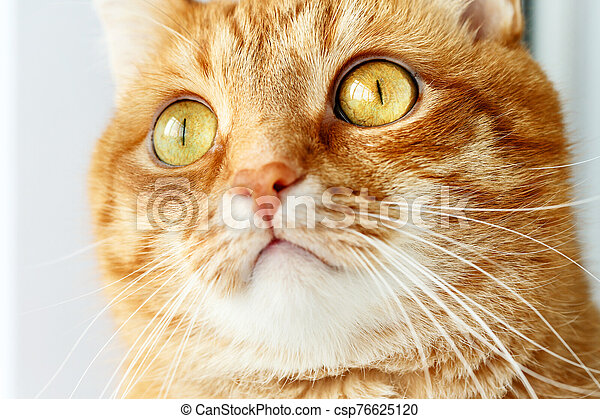 Funny ginger cat`s surprised face close-up - csp76625120