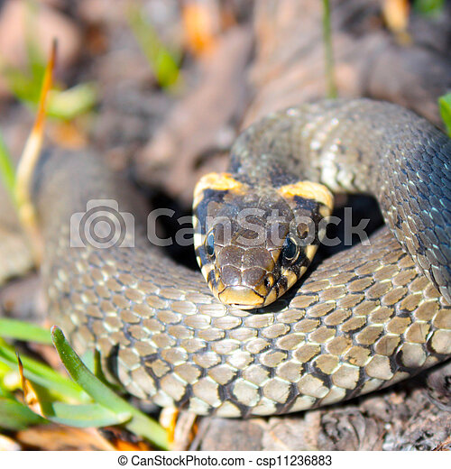 Funny grass snake taken in early spring - csp11236883