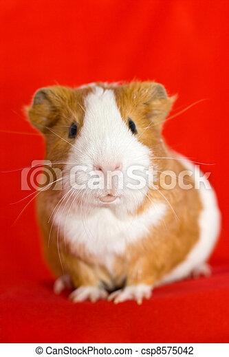 funny guinea pig face - csp8575042