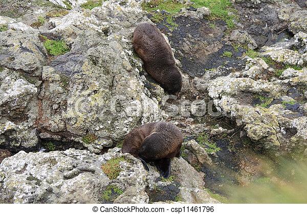Fur seals near the water - csp11461796