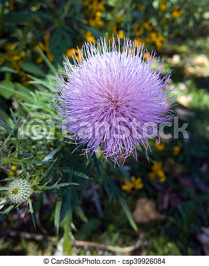 Fuzzy flower purple pink thistle in bloom in a natural park setting fuzzy flower csp39926084 mightylinksfo