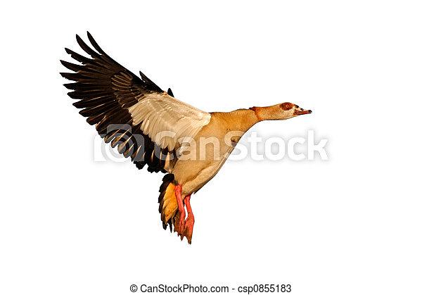 gås, fly, ægyptisk - csp0855183