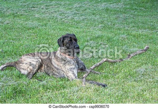 g ant chien garde mastiff mastiff arbre chien garder mastication royal maison. Black Bedroom Furniture Sets. Home Design Ideas