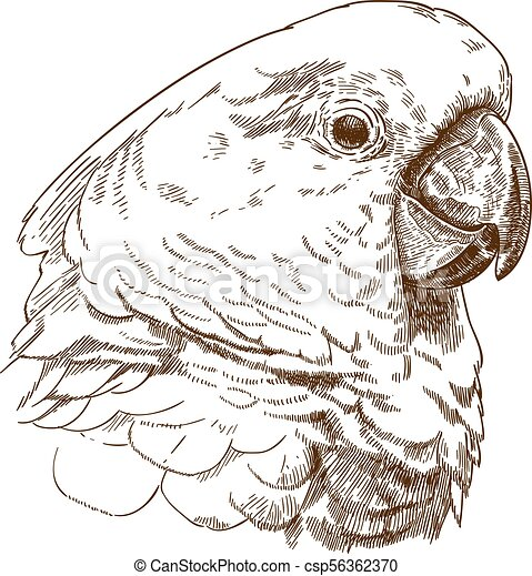 głowa, rysunek, biała kakadu, rytownictwo, ilustracja - csp56362370