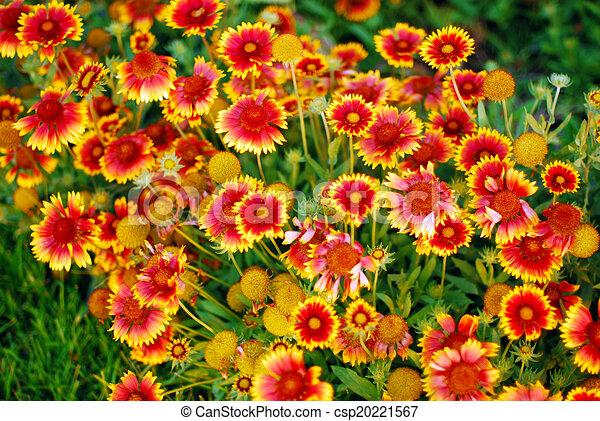 Gaillardia Aristata Very Pretty Orange Yellow Garden Flowers