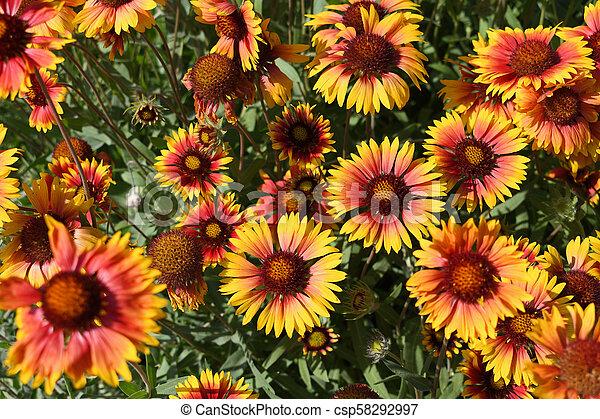 Gaillardia flowers in garden top view