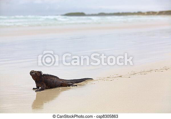 Galapagos marine Iguana - csp8305863