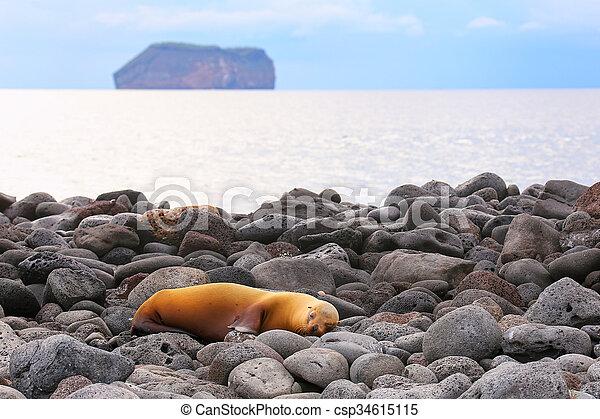 Galapagos sea lion on rocky shore of North Seymour Island, Galapagos National Park, Ecuador - csp34615115