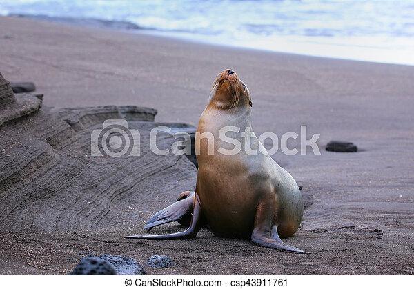 Galapagos sea lion on Santiago Island in Galapagos National Park, Ecuador - csp43911761