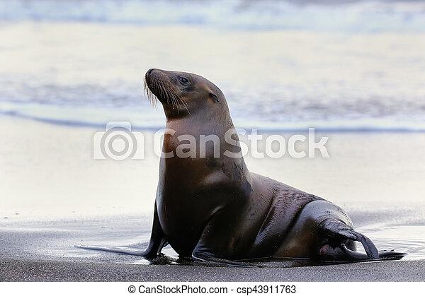 Galapagos sea lion on Santiago Island in Galapagos National Park, Ecuador - csp43911763