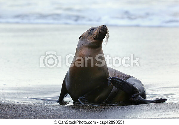 Galapagos sea lion on Santiago Island in Galapagos National Park, Ecuador - csp42890551