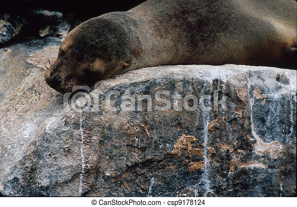 Galapagos sea lion - csp9178124