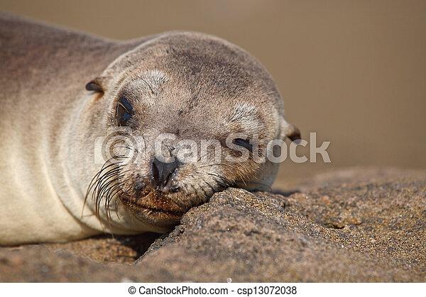 Galapagos sea lion - csp13072038