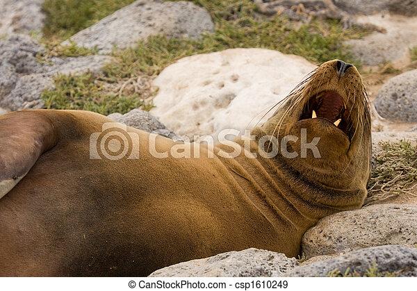 Galapagos sea lion (Zalophus wollebaeki) - csp1610249
