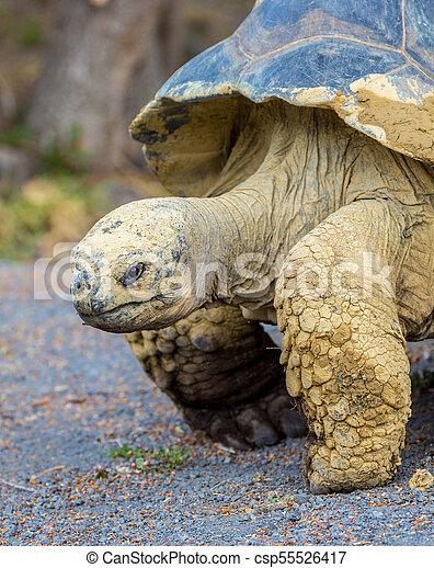 Galapagos Tortoise - csp55526417