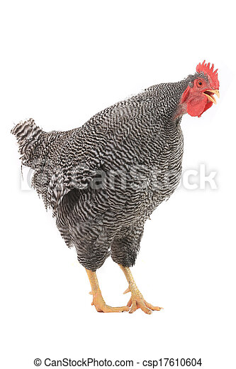 Rooster - csp17610604