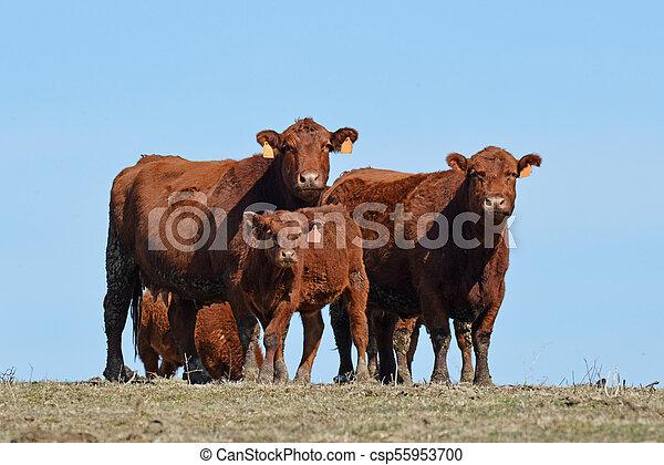 galloway, kühe, rotes  - csp55953700