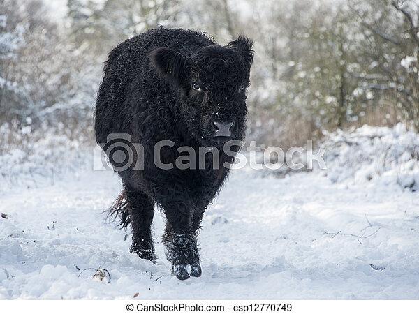 galloway, schwarz, winterlandschaft - csp12770749