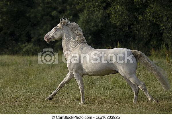 Connemara Pony im galopp - csp16203925