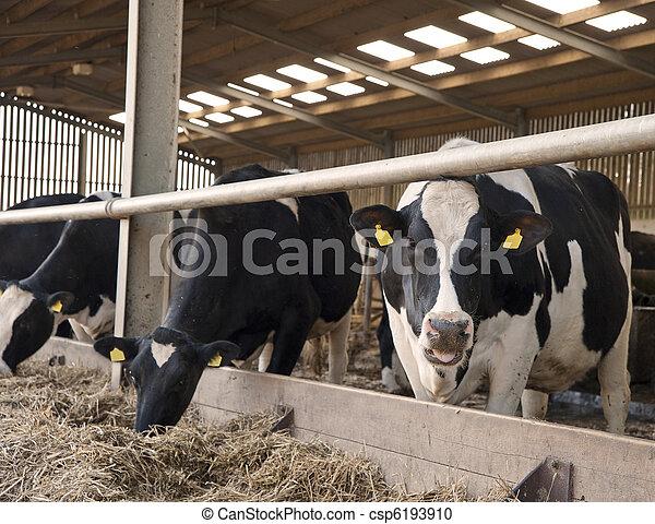 galpão, vacas, esperando, leiteria, agricultor, ordenhar - csp6193910
