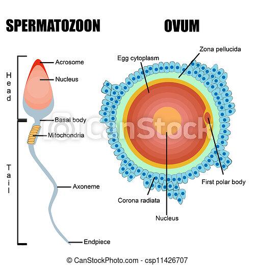 Gametes Esperma Humano Huevo Estructura