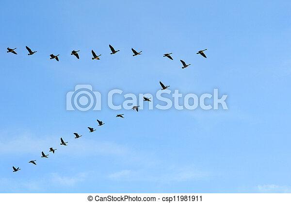 gansos canadienses en formación V - csp11981911