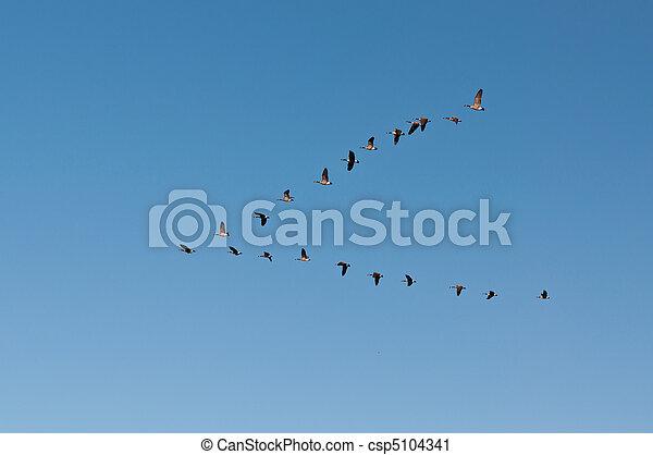 gansos de canadá, vuelo - csp5104341