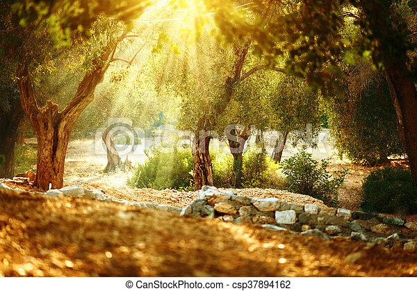 garden., altes , obstgarten, mittelmeer, baum, bäume, olive - csp37894162