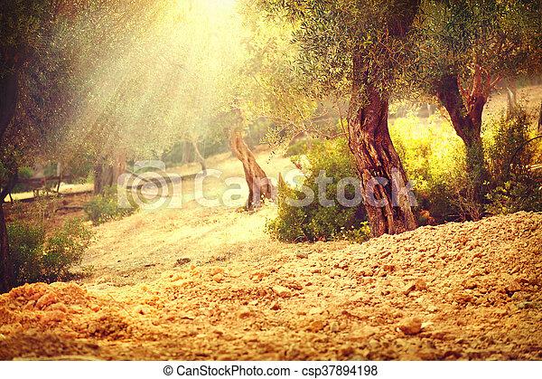 Olivenbaumgarten. Mediterraner Olivengarten mit altem Olivenbaum - csp37894198
