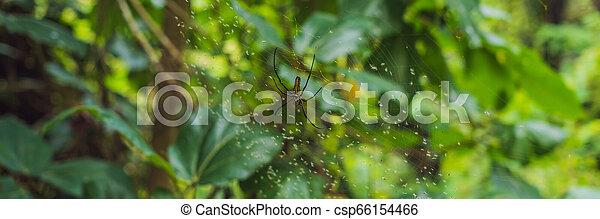 garden., araneomorph, araneus, langer, lat., banner, familie, format, makro, web., spinne, gelbe streifen, groß, garden-spider, spinnennetz, spinnen , araneidae, sitzt, art, orb-web - csp66154466