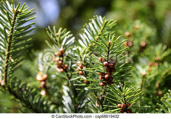 garden., branches, fou, parc, jeune, cèdre, ou - csp68619432
