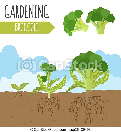Garden Broccoli Plante Croissance