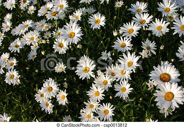 Garden Daisies - csp0013812
