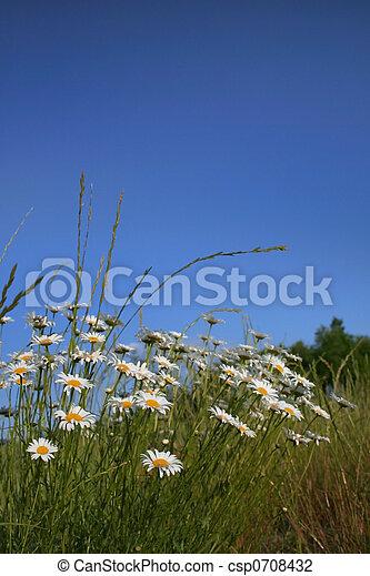 Garden Daisies - csp0708432