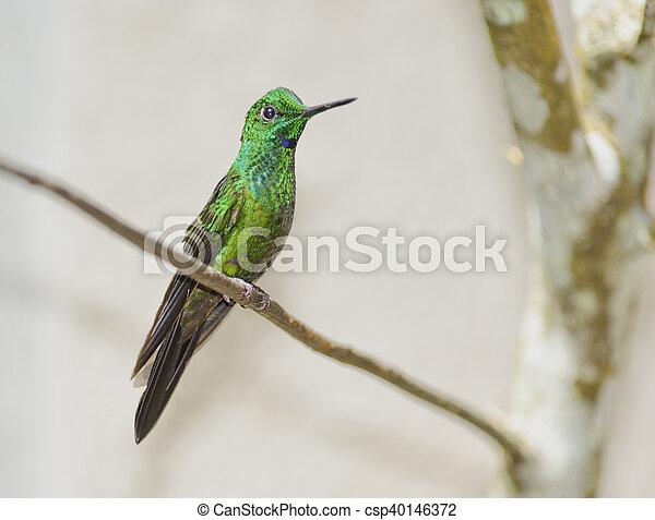 Garden Emerald Hummingbird, Costa Rica - csp40146372