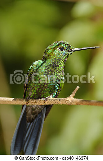 Garden Emerald Hummingbird, Costa Rica - csp40146374