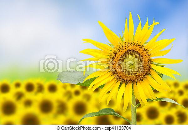 Trasfondo floral abstracto con girasol en el jardín. - csp41133704