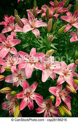 Garden Lilies Flowers