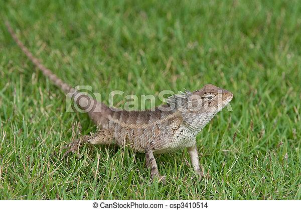 Garden Lizard   Csp3410514