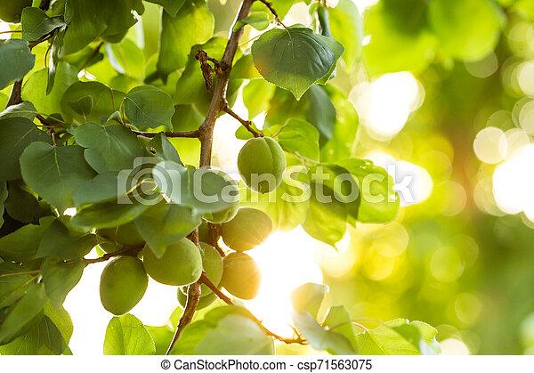 garden., mûrir, development., vert, arbre, temps, abricots, fruit, vert, branche, printemps, pendant - csp71563075