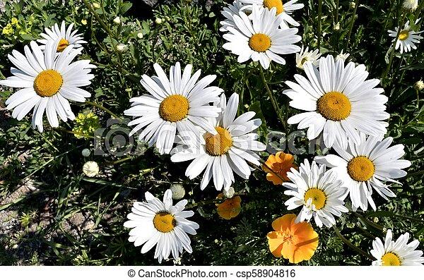 garden of daisies - csp58904816