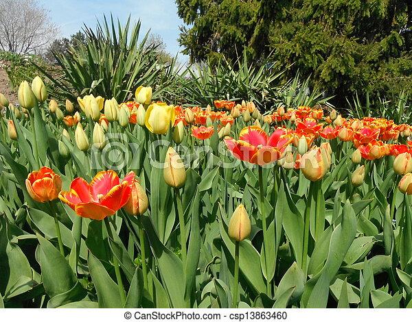 Garden of tulips - csp13863460