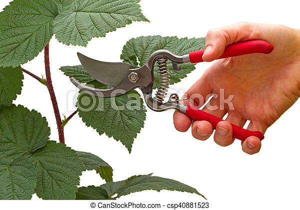 Garden pruner in hand and raspberry branch - csp40881523