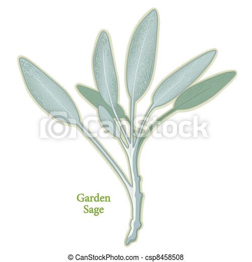 Garden Sage Herb - csp8458508